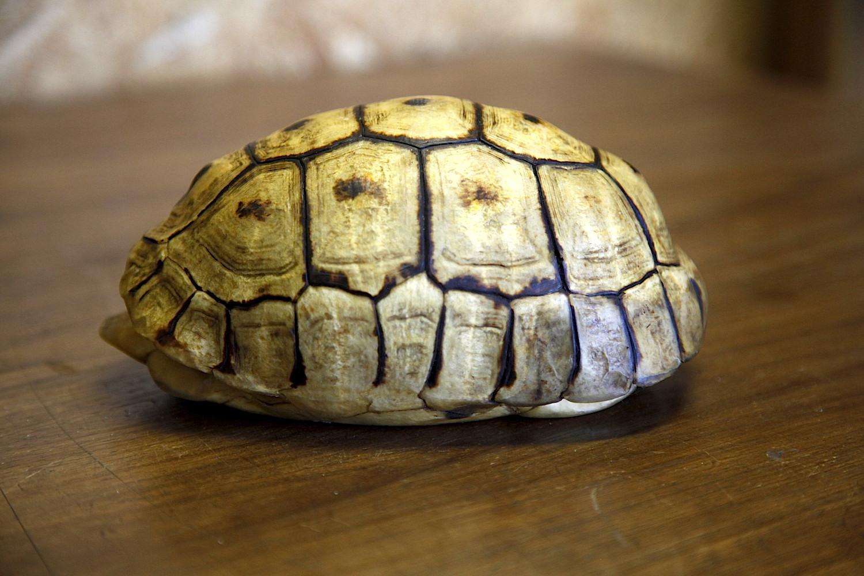 Angulate Tortoise 0068