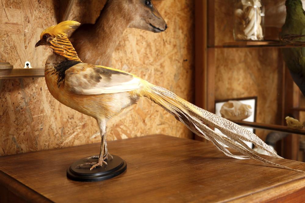 Golden Pheasant 02