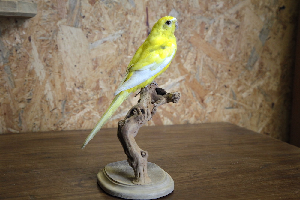 Turqoise Parrot (Yellow mutation)
