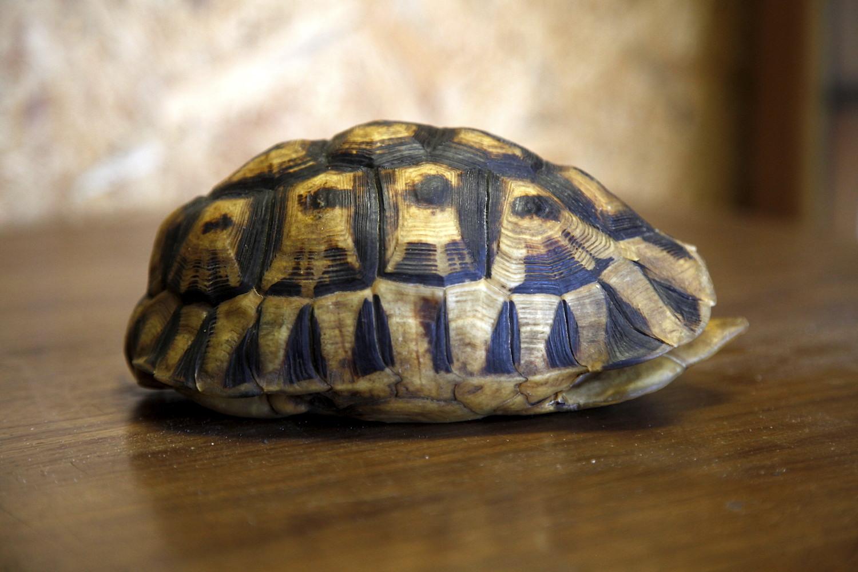 Angulate Tortoise 0060
