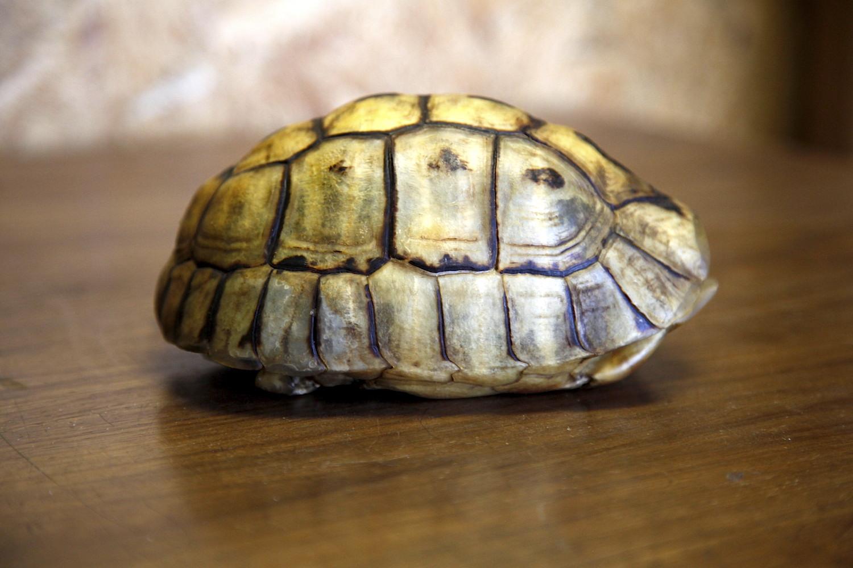Angulate Tortoise 0063